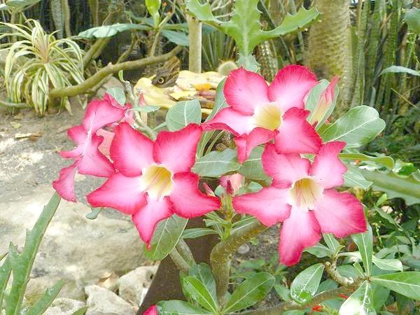 Аденіум гладкий, або троянда пустелі (Adenium obesum), фото суккулентні рослини фотографія