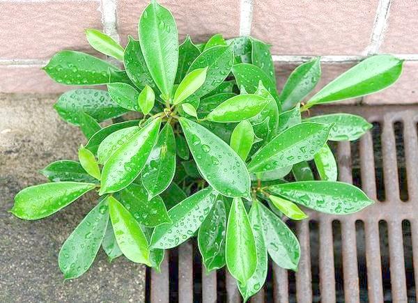 Фікус мікрокарпа (Ficus microcarpa), фото фотографія картинка