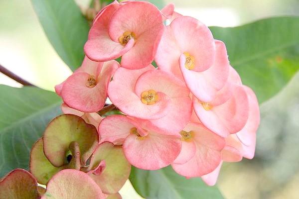 Молочай Міля (Euphorbia milii), фото фотографія суккулентні рослини