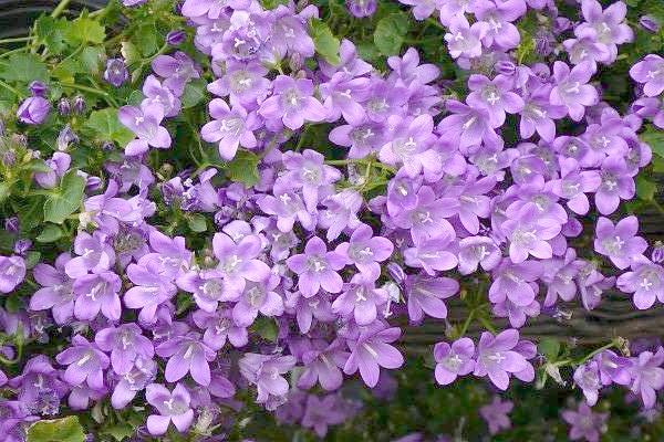 Броваллія красива (Browallia speciosa), фото фотографія квіткові рослини