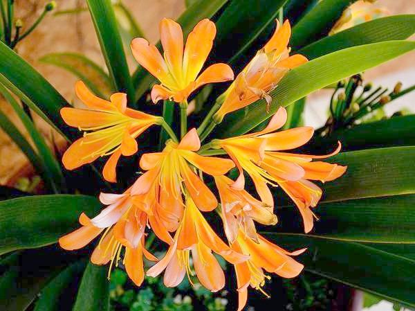 Клівія (Clivia), фото фотографія квіткові рослини