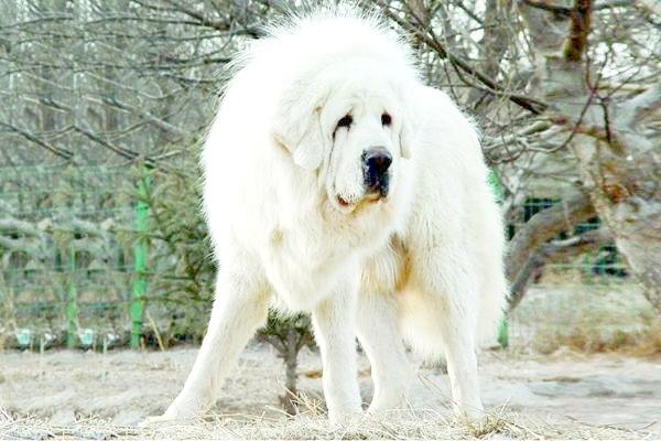 Білий тибетський мастиф, фото породи собак фотографія