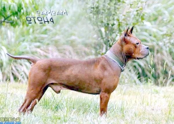 Чуньцин, китайська порода собак, собаки фотографія фото