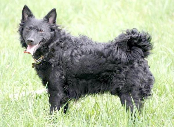 Муді, фото породи собак фотографія