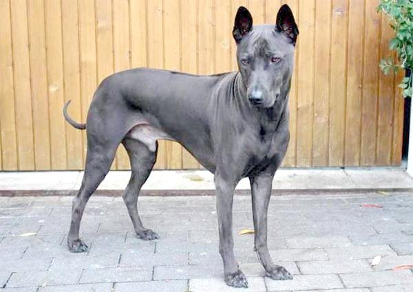 Тайський риджбек, фото породи собак фотографія