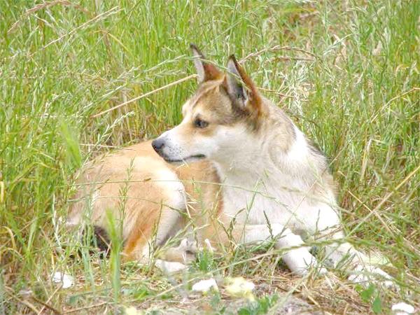 Норвезька лундехунд, фото породи собак картинка