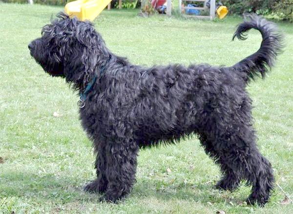 Барбет, барбетки, фото породи собак зображення