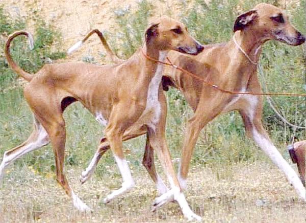 Азавак, фото породи собак фотографія