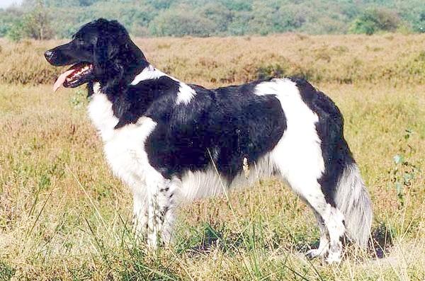 Стабіхун, Стабіхон, фото породи собак фотогоафія