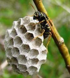 Сімейство: apidae = бджоли справжні, або бджолині
