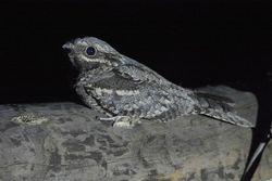 Сімейство: podargidae = лягушкороти, Білоног, совині Дрімлюги