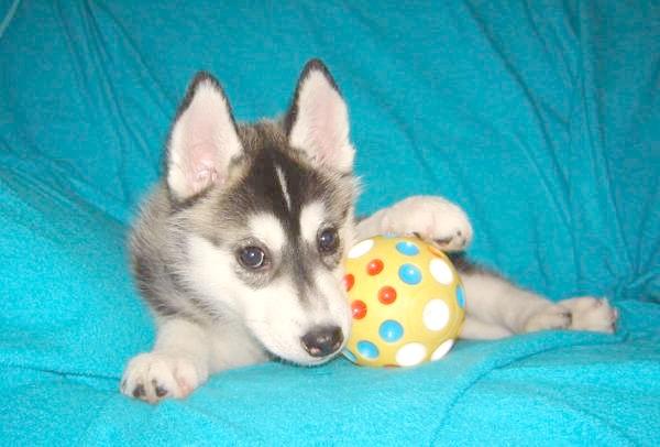 Щеня хаскі, фото виховання цуценяти фотографія собаки