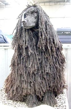 Шнурова пудель, породи собак, фото фотографія