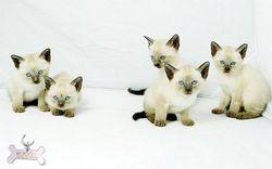 Шоу-, брід-, пет ... кошенята