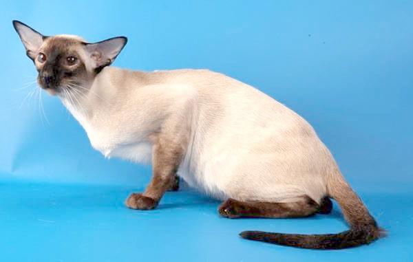 Сіамська кішка, фото породи кішок фотографія