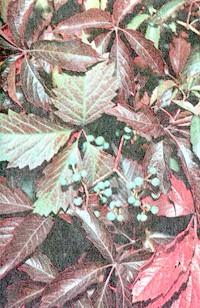 виноград дівочий, фото, фотографія