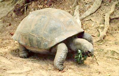 слонова черепаха, галапагоська черепаха (Chelonoidis elephantopus, Geochelone elephantopus), фото, фотографія