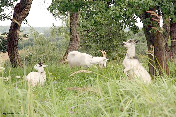 Пасуться кози, фото полорогие, фотографія парнокопитні