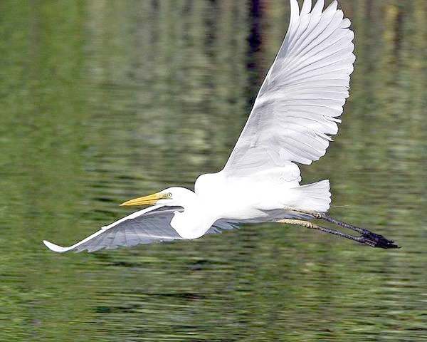 Середня біла чапля (Egretta intermedia), фото птиці фотографія