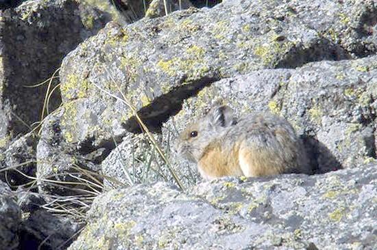 Степова піщуха, мала піщуха (Ochotona pusilla), фото зайцеподібні тварини фотографія