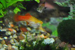 Стрес і здоров'я риби