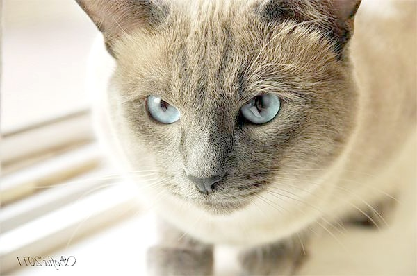 Тайський кіт, фото породи кішок фотографія кішки