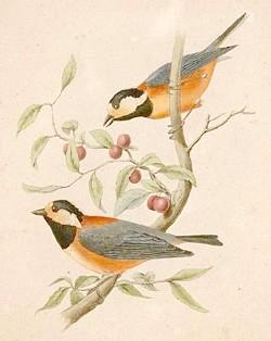 тисовий синиця, японська синиця (Parus varius), фото, фотографія