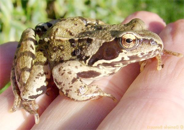 Трав'яна жаба (Rana temporaria), фото амфібії фотографія