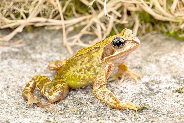 Трав'яна жаба (Rana temporaria), фото земноводні фотографія картинка