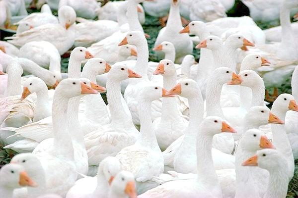 Домашні гуси, фото годування птахів фотографія картинка