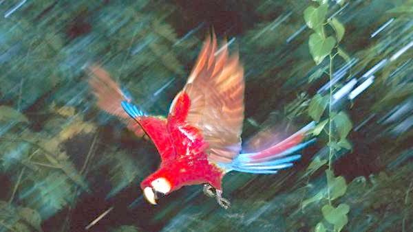 Червоний ара, або ара макао (Ara macao), фото годування папуг фотографія картинка